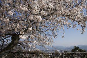 桜がモリモリ。美しい松山城下を見下ろす