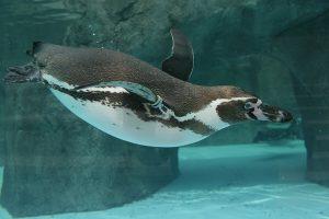 水の中で泳ぐペンギンたちの様子が見える。