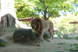 ライオンの餌やりシーン