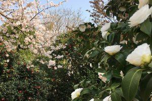 桜と椿のコントラストがきれい