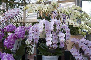 新館の胡蝶蘭、季節によりシンビジウムを展示される