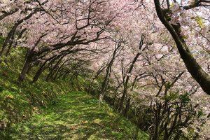 満開時には桜のトンネルができる