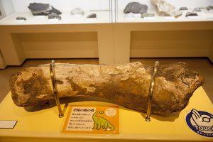 展示されている恐竜の骨。大きい