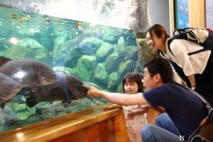 四万十川に生息する巨大な淡水魚アカメ